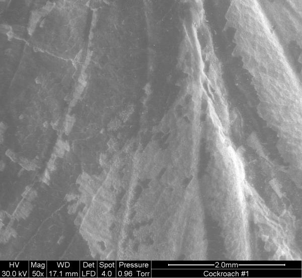 Cockroach wing fossil SEM