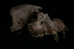 Hyaena Skull (smaller)